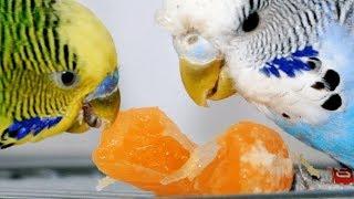 ALIMENTAÇÃO SAUDÁVEL-  Alimentos que sua ave pode comer