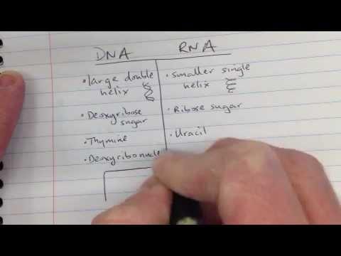 DNA vs RNA  YouTube