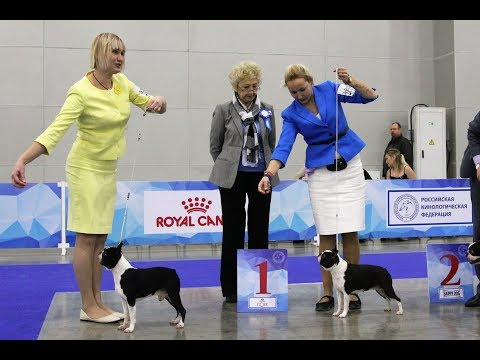 International Dog Show RKF President Cup 2017, Boston Terrier