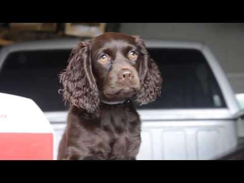 Introducing Boykin Spaniel Puppy To Gun Fire