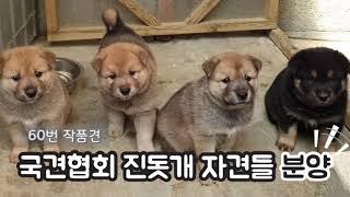 강추!!! 진돗개 분양(국견협회 60번 작품견  자견들…
