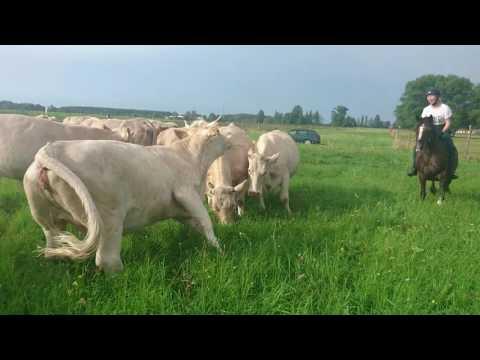 Akcja Krowy!
