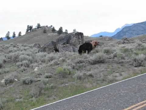 Bear in Yellowstone