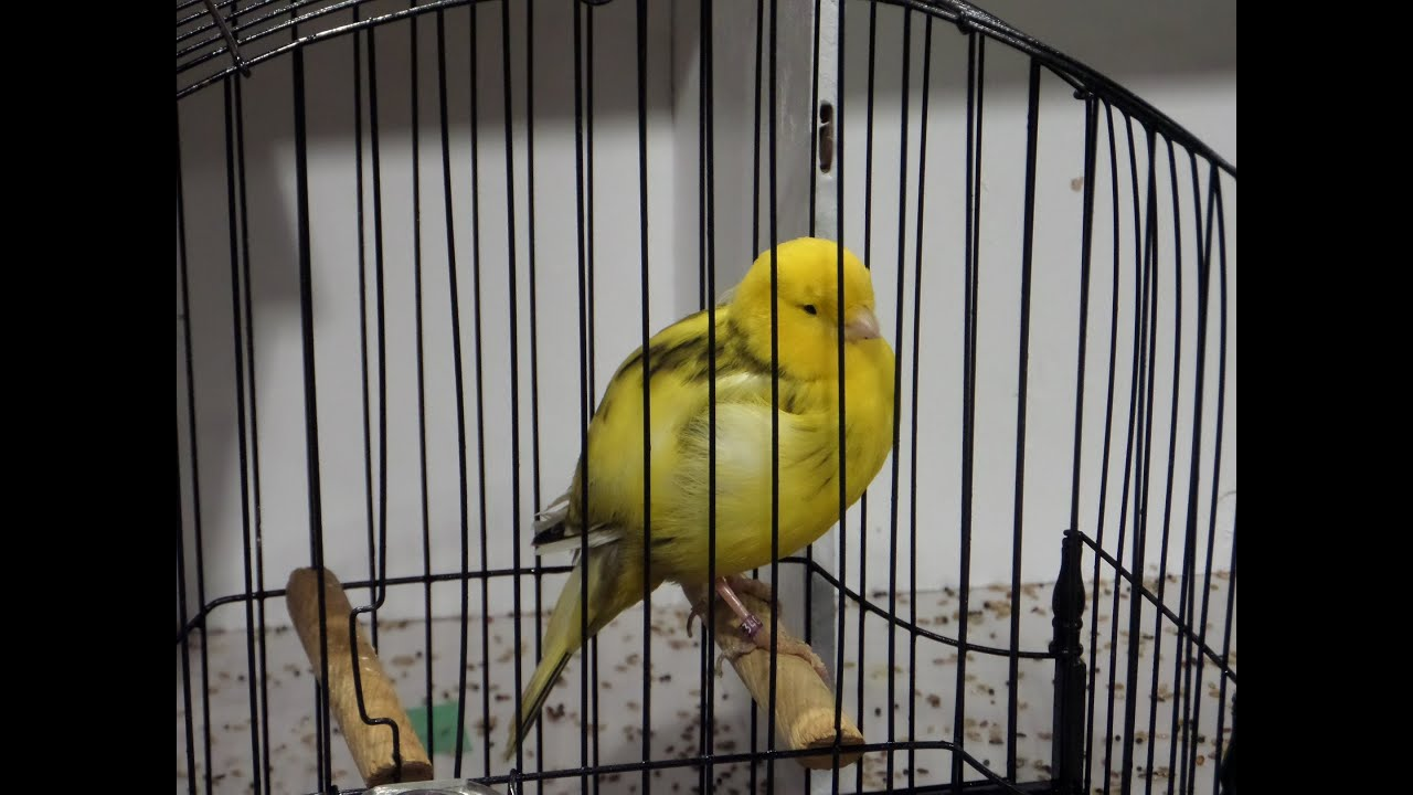 Canaries at the Canadian National Bird Show 2014
