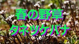 【富山散策】 春の野草 「タネツケバナ」