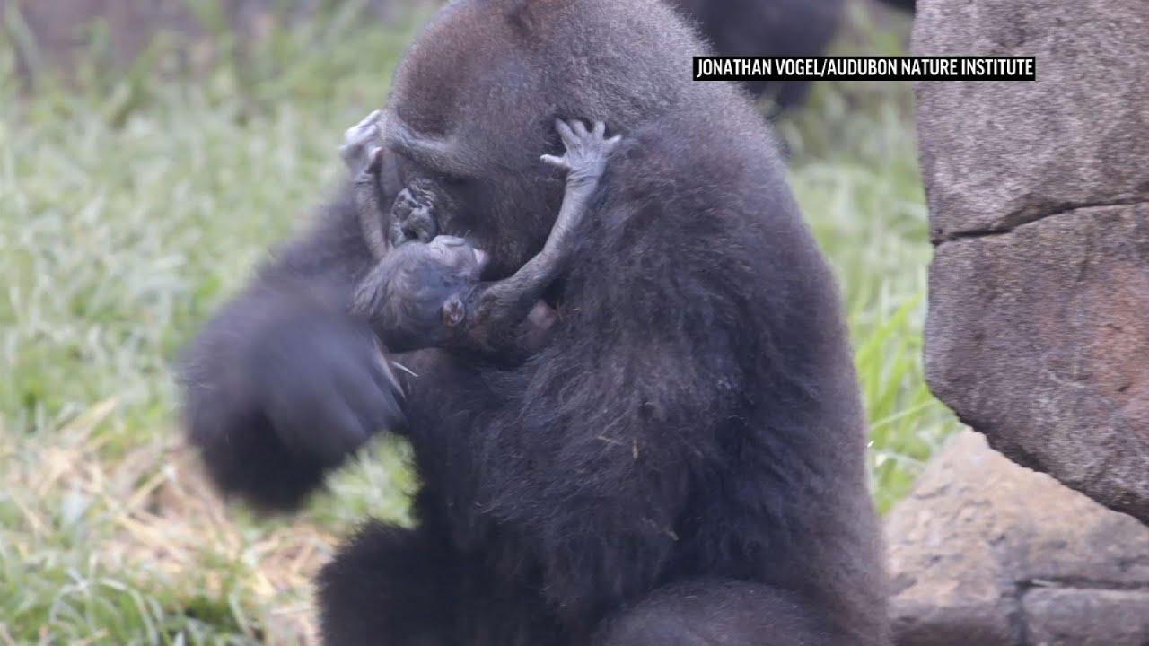 Endangered baby gorilla dies six days after birth | Ap Video |  lufkindailynews.com
