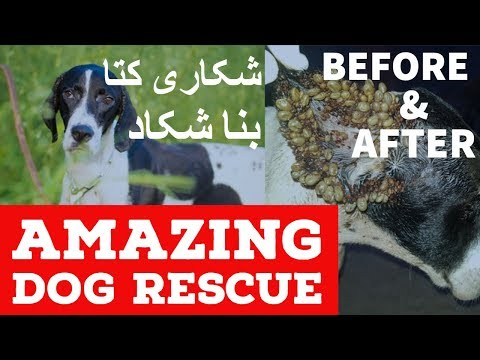 Hunting Dog Rescued| Pointer breed