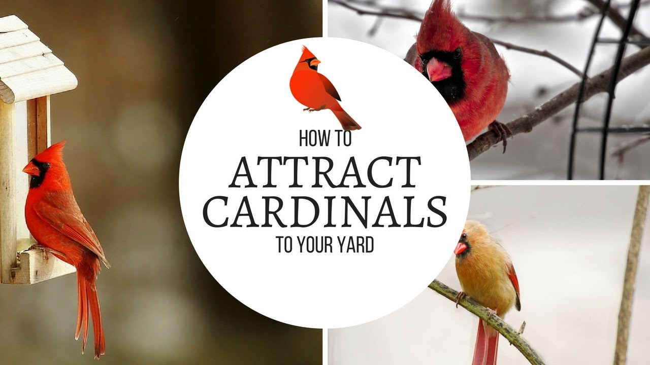 how to attract cardinals to your yard youtube