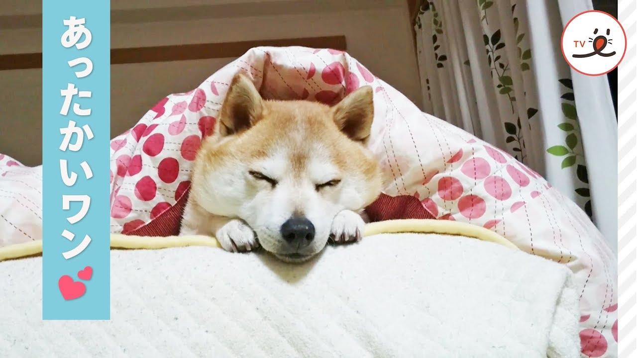 ベター の な モク 日々 柴犬