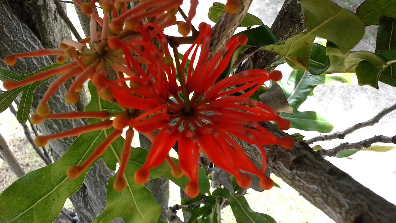 Stenocarpus sinuatus seed pods - Firewheel Tree HD 02 ...