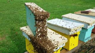 how to create a swarm in your honey bee yard