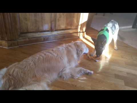 Lazy Golden Retriever Lying Down To Play Tug of War With German Shepherd Puppy