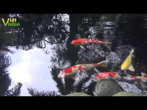 Chiêm ngưỡng đàn cá chép lửa khủng trong ao vườn nhà Đại Tướng Võ Nguyên Giáp