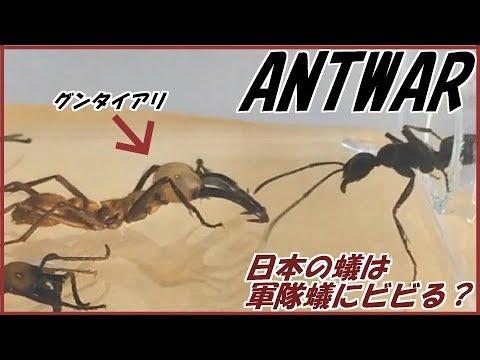 蟻戦争Ⅱ#92 世界最恐のグンタイアリを日本アリのエサ場に入れたらさすがにビビる? 編~Japan ants afraid of army ants?~