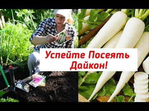 Дайкон: посадка, уход и хранение. Выращивание дайкона   выращивание   посеять   дайкона   редька   дайкон   сеять   редис   посев   когда   июле