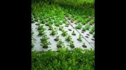 Best Aquaponics Plants To Grow For Your DIY System