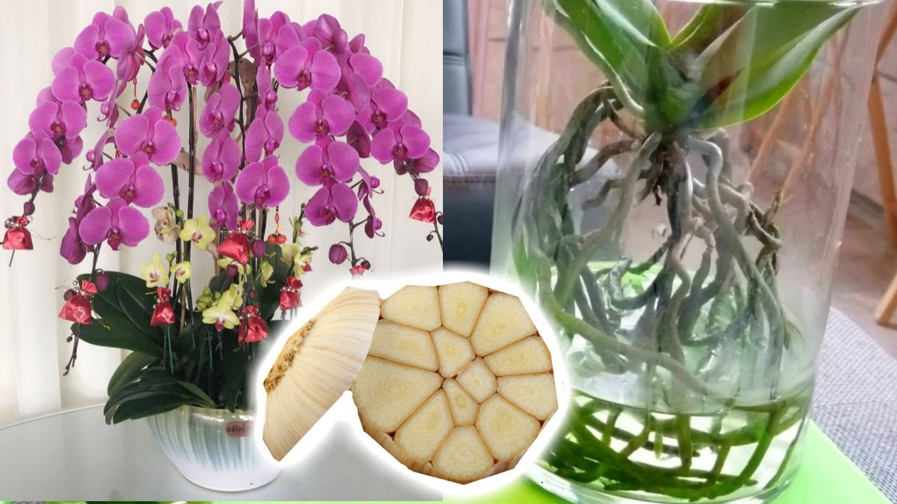 Garlic Water Recipe Best Fertilizer For Orchids To Bloom Youtube