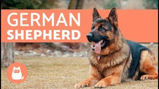 All about the German Shepherd  History, care & training