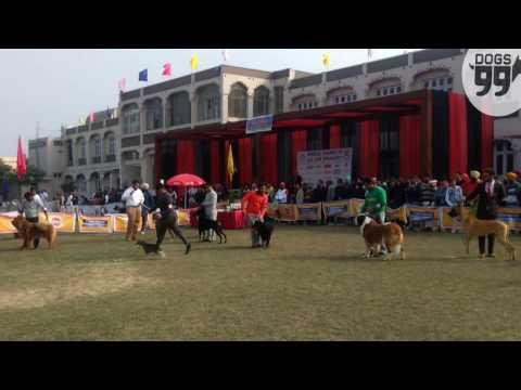 Amritsar Dog Show | 25th Dec 2016 | Dogs99.com