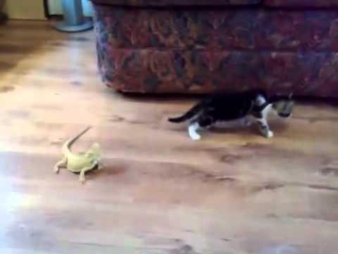 Хамелеон и кот