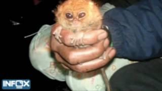 В Индонезии пойман самый маленький долгопят