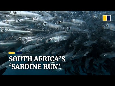 South Africa's 'sardine run': an annual migration spectacle for divers