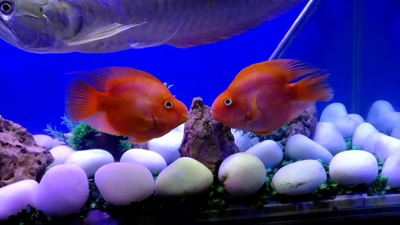 Fish in new aquarium - Kissing Parrot Fish Arowana In My New Aquarium Setup