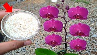 Arroz na Orquídea e Veja o Resultado
