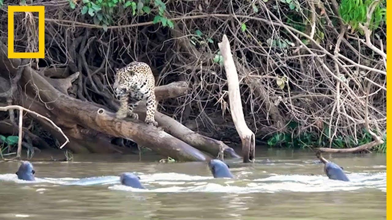 Jaguares contra nutrias gigantes: ¿quién ganará? | National Geographic en Español