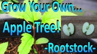 How to Grow Your Own Apple Tree Rootstock by Germinating Store Bought Apple Seeds