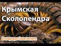Крымская сколопендра на 5м этаже жилого дома в Севастополе