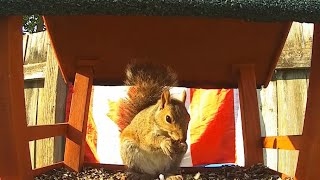 Happy Canada Day | Squirrel Video For Pets - July 1