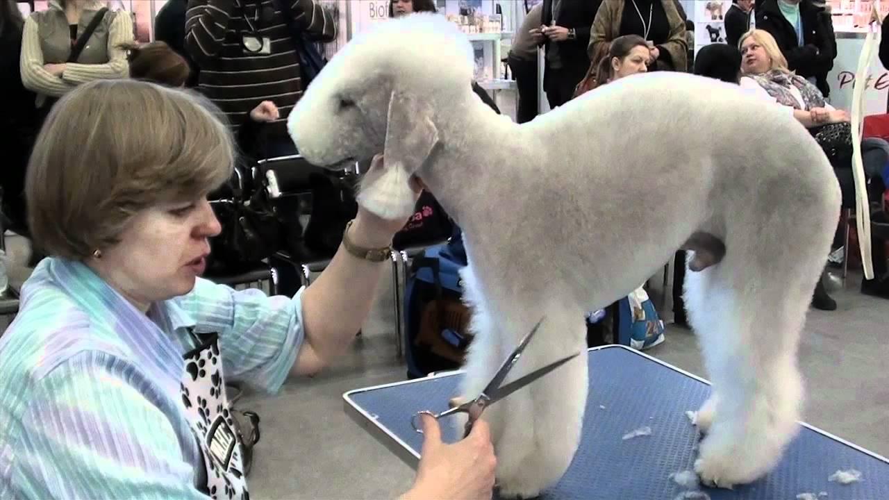 Bedlington Terrier Grooming Youtube