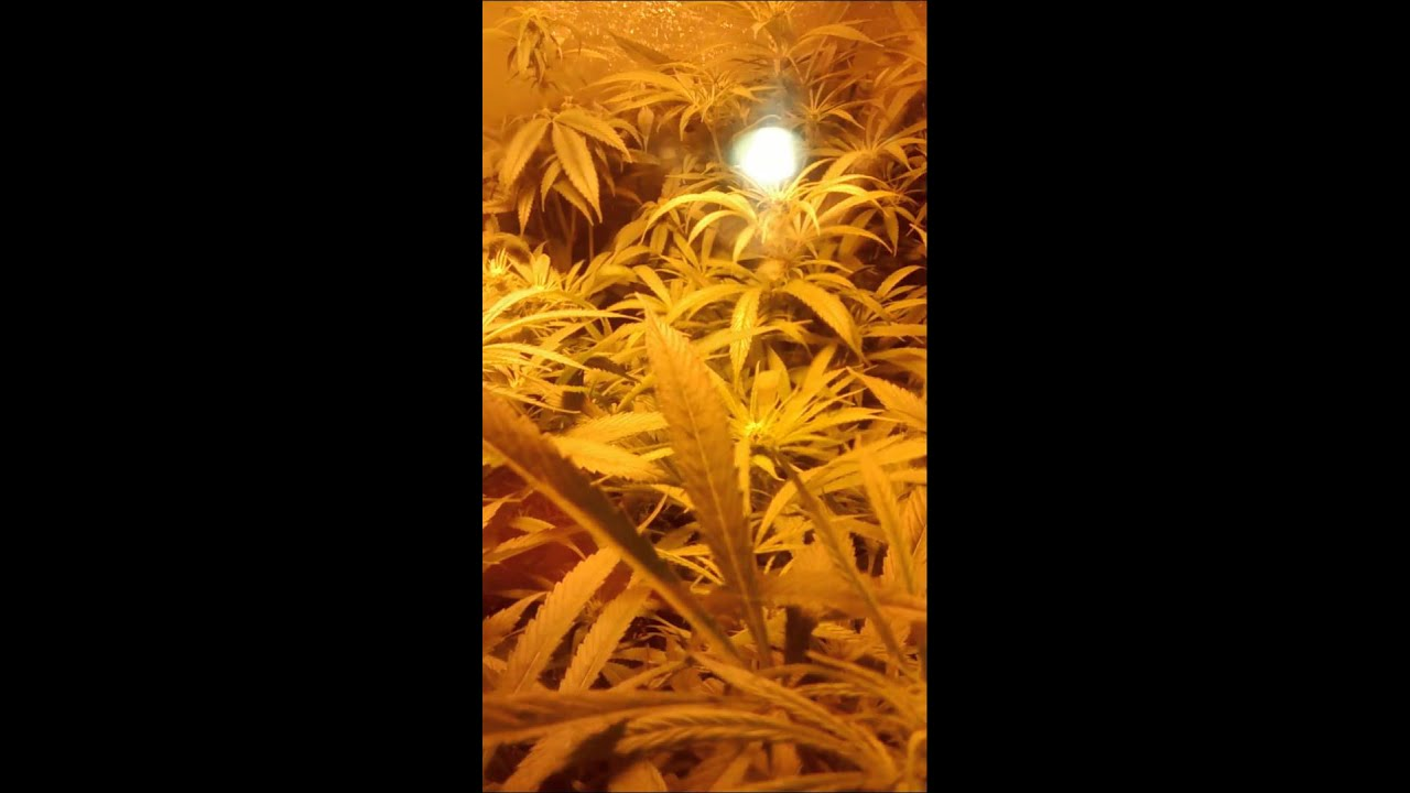 Blue Dream 4x8 Grow Tent Under 2000 Watts HPS - YouTube