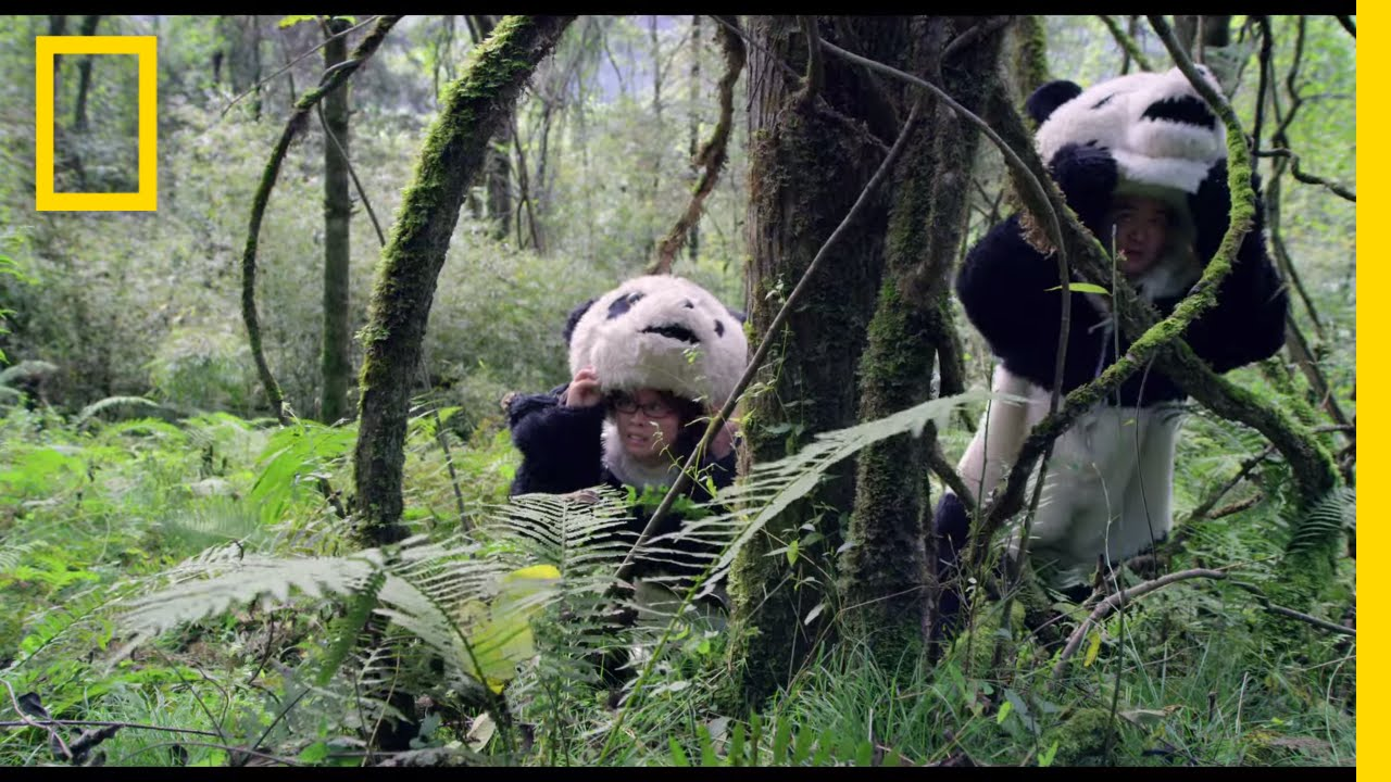 pandas the journey home trailer national geographic [ 1280 x 720 Pixel ]