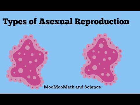 Asexual reproduction is carried out through