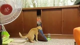 咥えて跳んで入りたい猫、トライするたび笑いを誘う