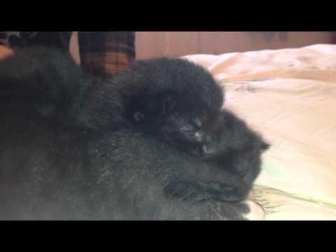 newborn kittens crying (cute)