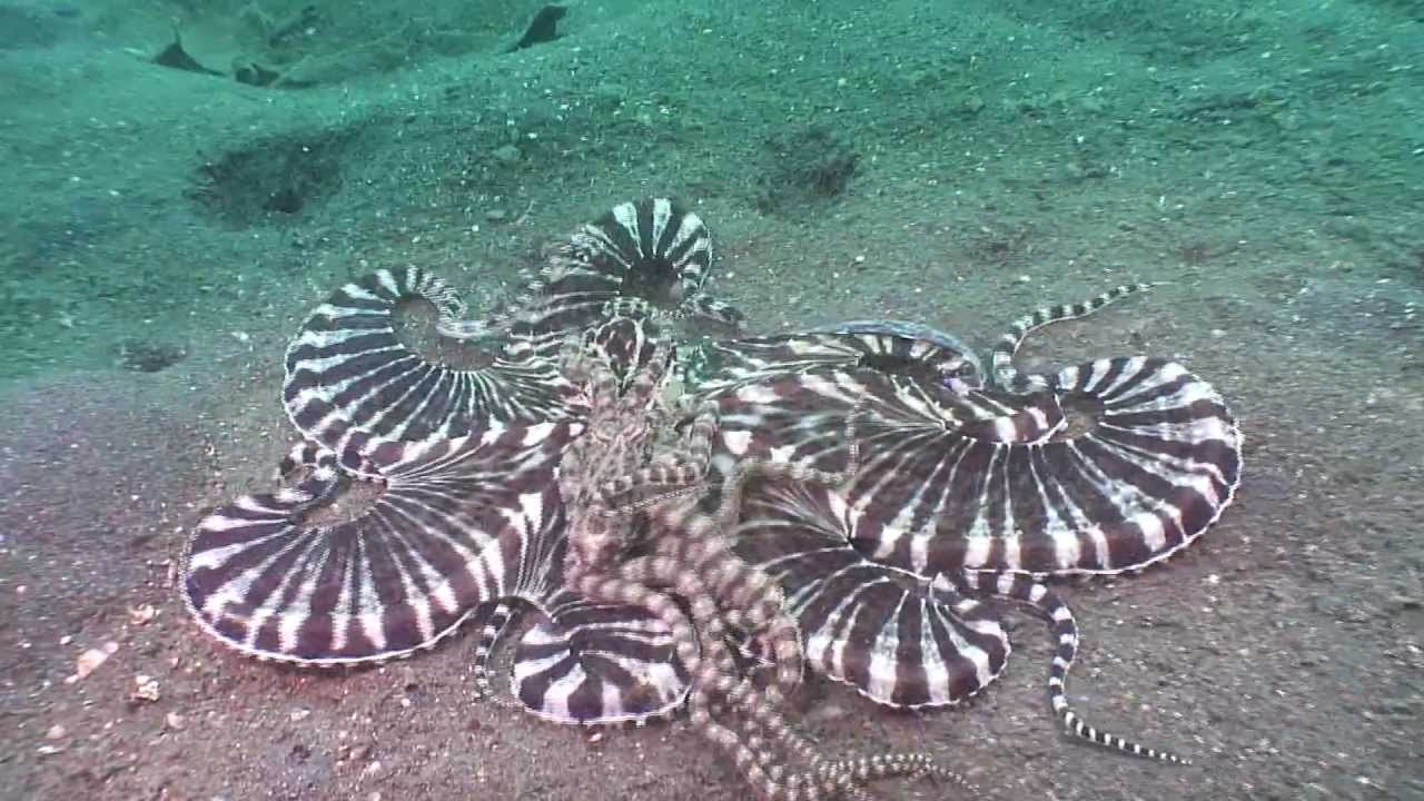 Truly incredible mating mimic octopus! - YouTube