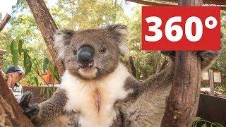 360 video: Koala in Healesville Sanctuary, Melbourne, Australia