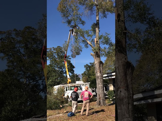 Safety roping water oak near house