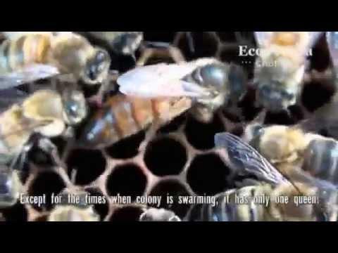 Пчелиное маточное молочко. Свойства и биологическое действие.