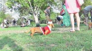 Brisbane Dachshund (dachsmas) Christmas Party Nov 2014