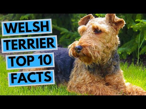 Welsh Terrier - TOP 10 Interesting Facts