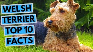 Welsh Terrier  TOP 10 Interesting Facts