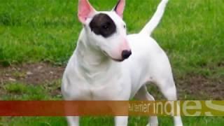 Bull Terrier Ingles vs Pit Bull Terrier Americano ¿Quien gana?