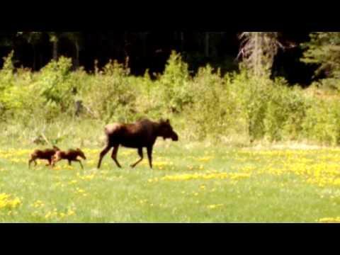 Alaskan Adventure - Hope #1, Moose Family