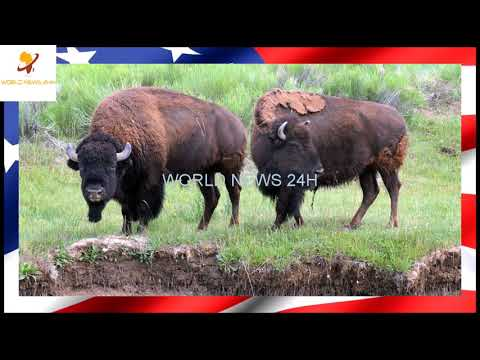 Hunters wanted for Grand Canyon bison cull