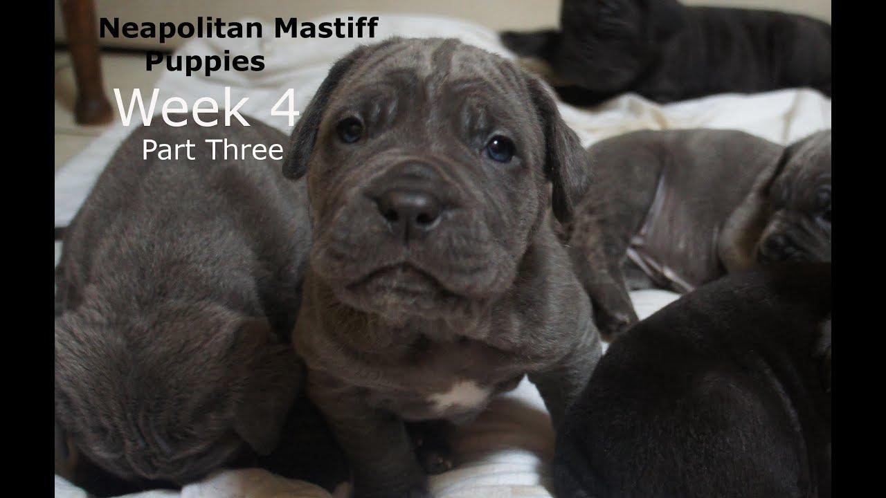 Neapolitan Mastiff Puppy Cute Close Up Week 4