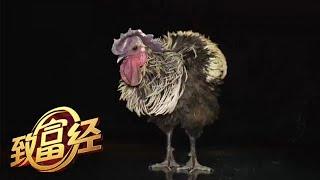《致富经》 20190809 养鸡小伙儿的香格里拉| CCTV农业